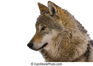 Portrait of an European grey wolf Canis lupus lupus isolated...
