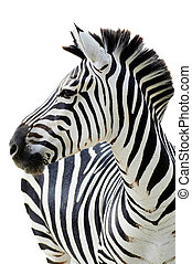 Zebra isolated - Grants zebra Equus quagga boehmi isolated...