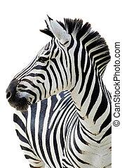 Zebra isolated - Grant's zebra (Equus quagga boehmi)...