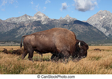 American Bison Buffalo in Grand Teton National Park