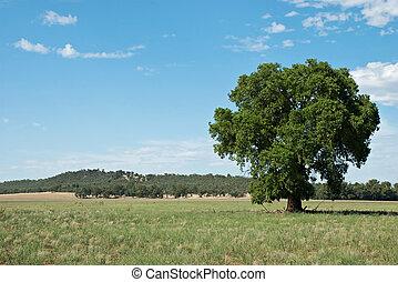 landscape - a kurrajong tree in a farm paddock