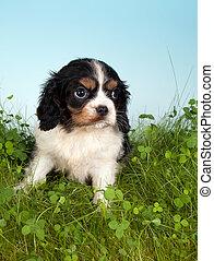 Spaniel in grass