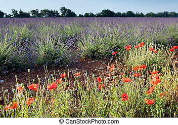 Lavender and poppies - Poppies next to the lavender fields...