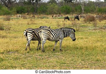 Burchells Zebra Equus burchelli, Moremi National Park,...