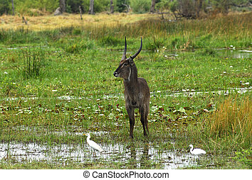 Male Waterbuck Kobus ellipsiprymnus, Moremi National Park,...