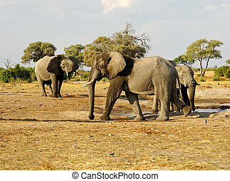Herd of African ElephantsLoxodonta africana at a waterhole,...