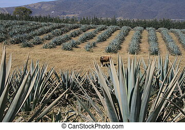 agave field in the state of jalisco in mexico , agave is the...