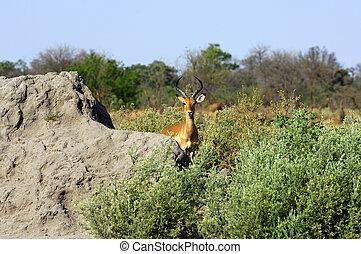 Impala, Moremi National Park, Botswana - Impala, Aepyceros...