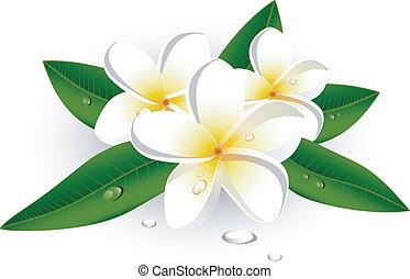 White plumeria (Frangipani) over white. EPS 8, AI, JPEG