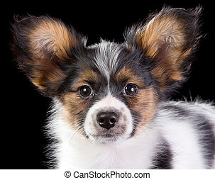 Puppy Papillon on a black background