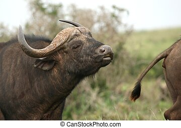 Buffalo Bull Flehmen - Male buffalo showing the flehmen...