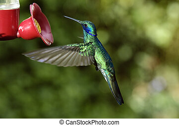 Humming Bird - Colorful colibris at the amazon region