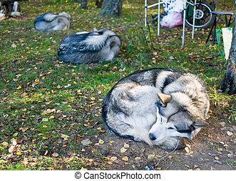 Sleeping Alaskan Malamute - Sleeping dog breeds Alaskan...