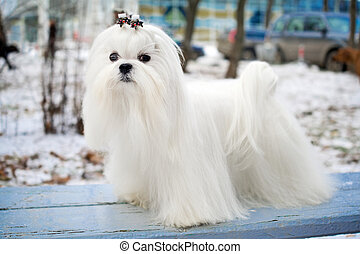 Maltese Dog - Portrait of a Maltese dog in winter outdoors