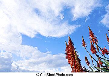 Red Aloe Vera flowers against sky