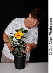 Senior Woman Pruning A Hibiscus - A Senior woman tending to...