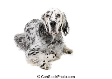 English Setter - Portrait of an English Setter isolated on a...