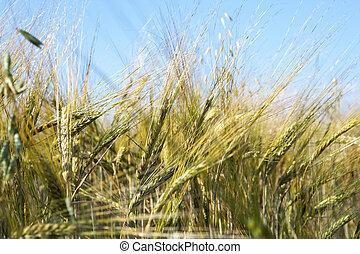 Field of wheat under azure sky