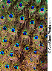 Peacock bird tail feathers in close up - Beautiful peacock...