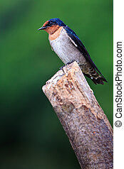 Swallow bird sitting on a branch - Barn swallow bird sitting...
