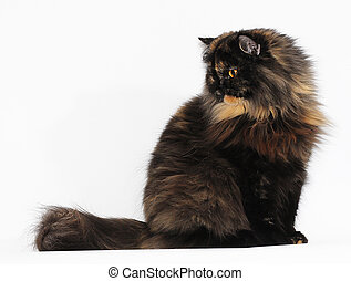 Persian tortie cat isolate on white background