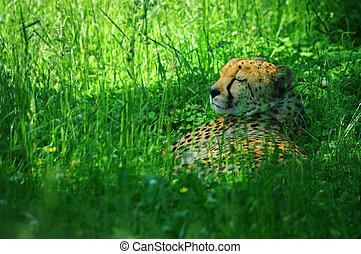 Gepard fall asleep on fresh grass