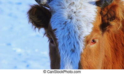 Curious cow looking at camera in the winter snow meadow