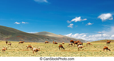 Herd of camels - Grazing camels in Gobi Desert, Mongolia
