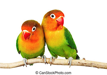 Pair of lovebirds agapornis-fischeri isolated on white