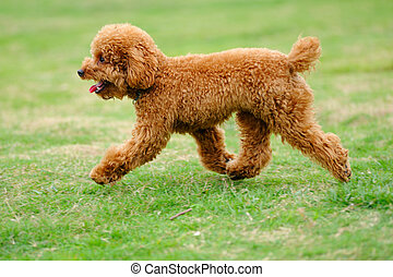 Little toy poodle dog running - Lovely little toy poodle dog...
