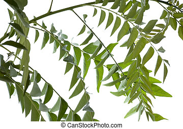 Curry Leaves Isolated - Isolated image of curry leaves.