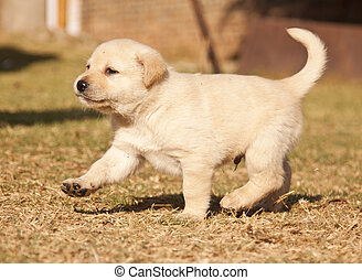 White laborador puppy runs on grass in sunshine