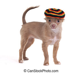 Funny chihuahua puppy standing with rastafarian hat isolated...