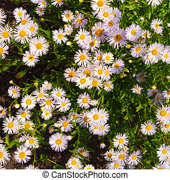 camomile - violet camomile