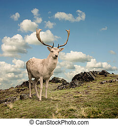 Stag Deer - Male Stag Deer on a Mountain