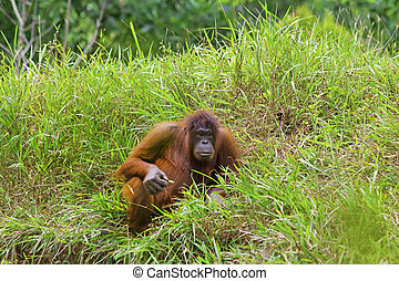 Orangutan photographed in the jungle in Sabah, Borneo,...