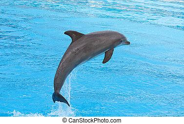 bottlenose, dauphin