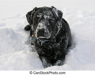 Labrador Retriever in Snow - black labrador retriever lying...
