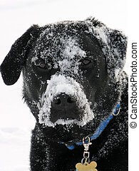 Black Labrador in snow - black labrador retriever playing in...