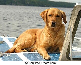 Yellow Labrador Retriever - Yellow labrador retriever lying...