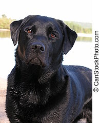 Black Labrador Retriever - Black labrador retriever at beach