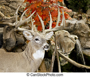 whitail buck trophy - trophy whitetail buck in a fall woods...