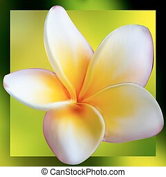 Frangipani Plumeria flower. EPS 8 vector file included