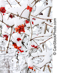 bush with red berries under  snow - ashberry in winter