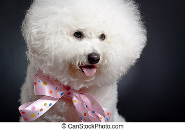 Bichon Frise looks adorable in pink bow tie against black...