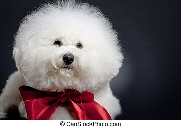 sad little bichon frise , wearing a big red ribbon
