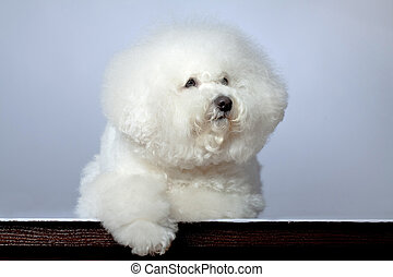 sad bichon frise - picture of a sad bichon frise on a grey...