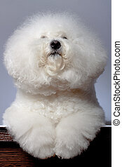 bichon frise looking up - adorable bichon frise sitting in...