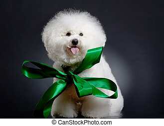 bichon frise wearing a big green ribbon - picture of a cute...