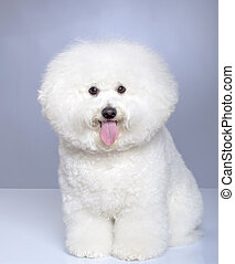 Bichon Frise puppy on a gray background. Not isolated.